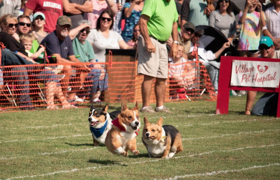 Corgi racers take off towards the finish line as spectators watch from behind. This was the first year for corgis to be included in the Wiener Takes All races.